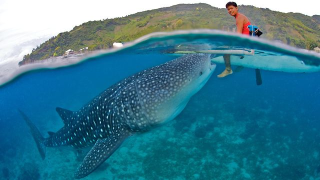 Whale Shark Adventure in Oslob, Cebu