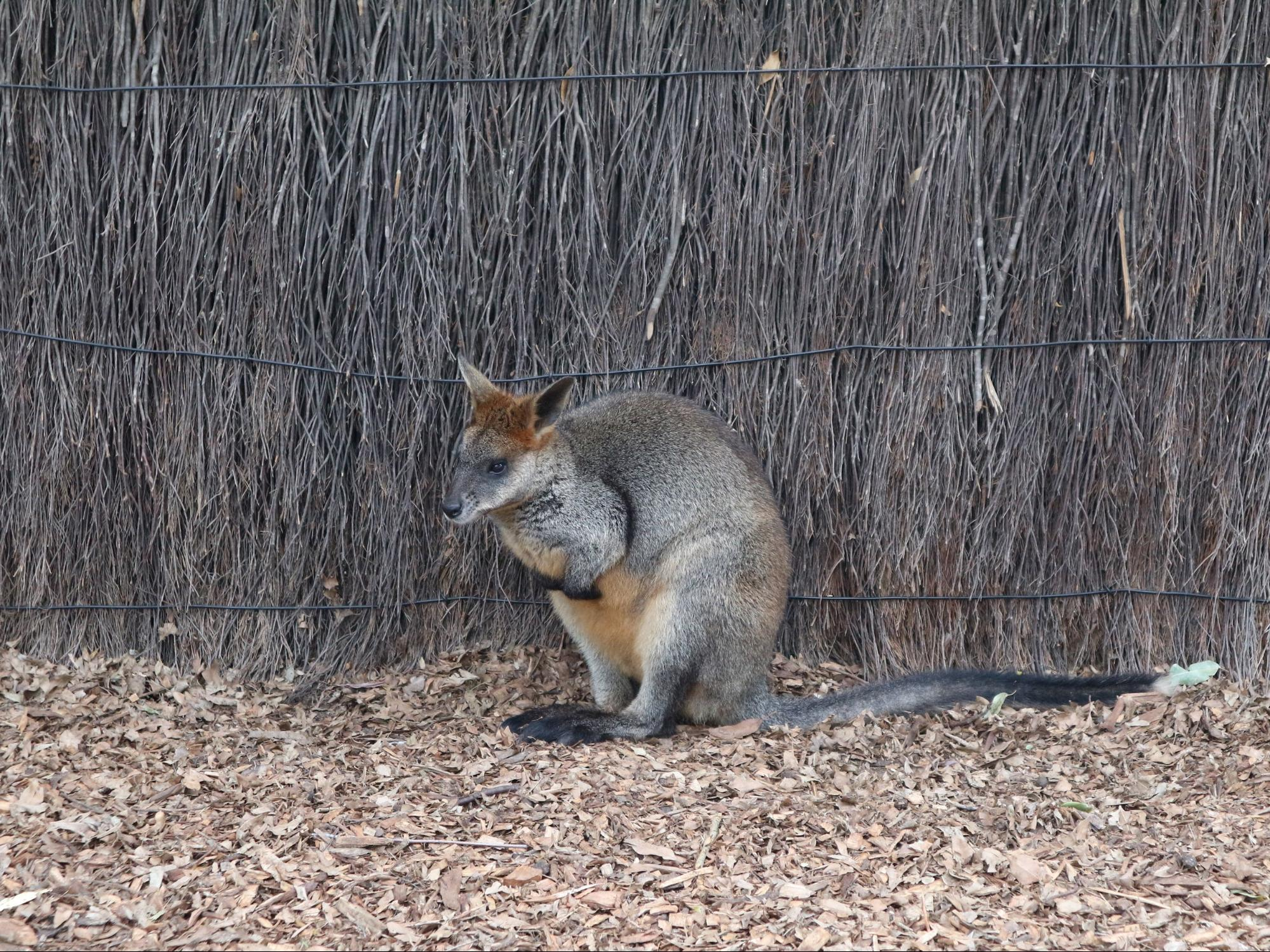 wallaby in Taronga Zoo